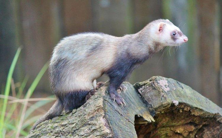 a ferret in nature