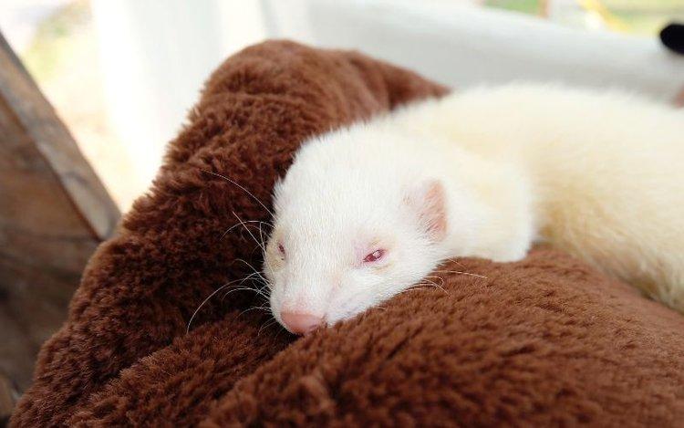 a ferret lying looking sad