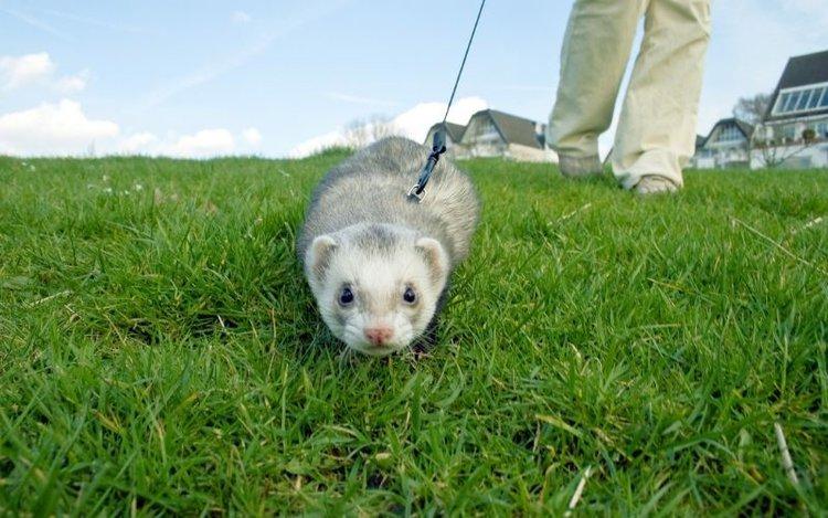a playful ferret pet