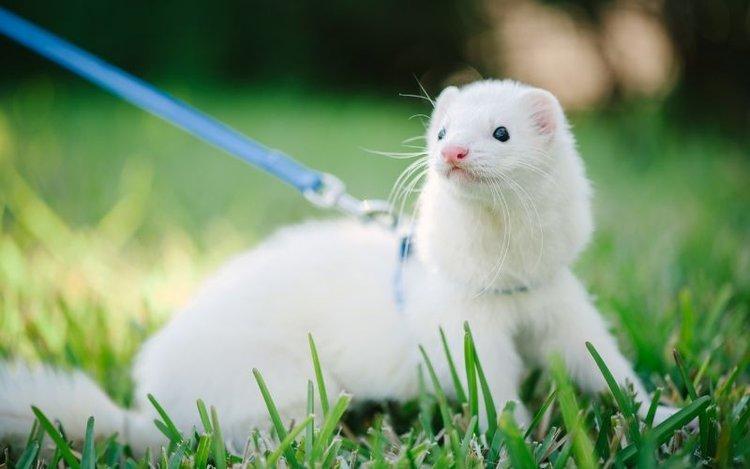 ferret as a pet