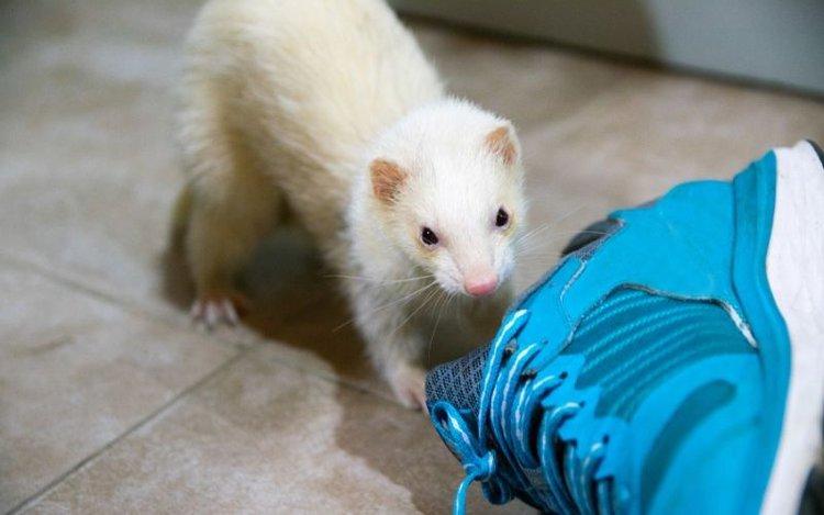 ferret needs physical exercise